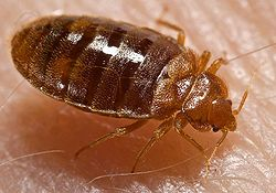 A close up image of a bedbug.